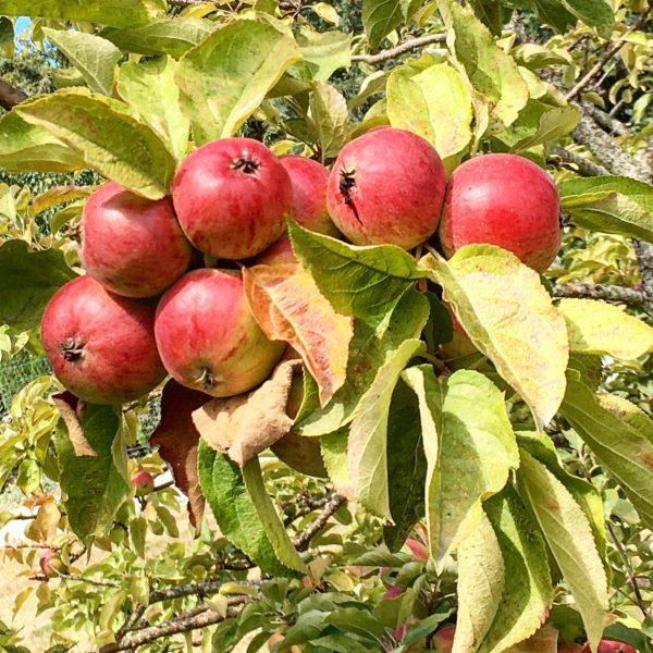 Apples from Sea Cider Farm